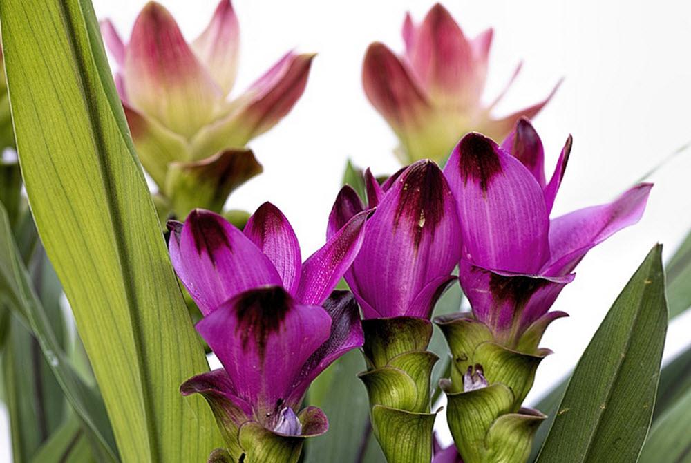 curcuma blommor
